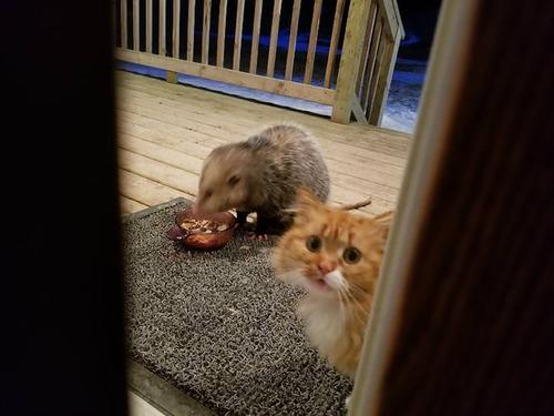 オポッサムにエサを奪われた猫01