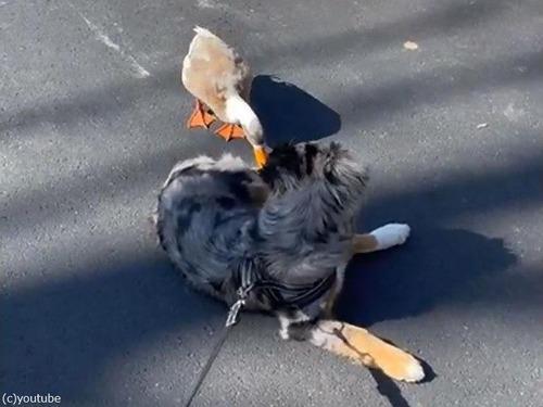 犬とアヒル01