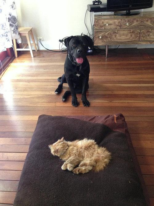 猫にベッドを奪われた犬たち08
