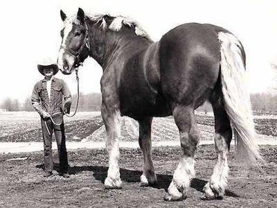ラオウの黒王号のように巨大な馬TOP