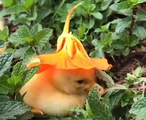 花の帽子をかぶったアヒルの赤ちゃん02