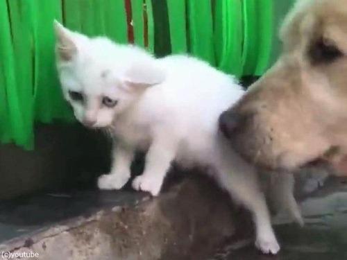 ゴールデンレトリバーが迷子の子猫を拾ってくる05