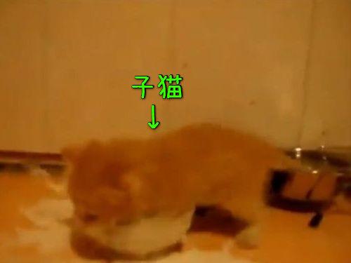 野獣のようにミルクを飲む子猫00