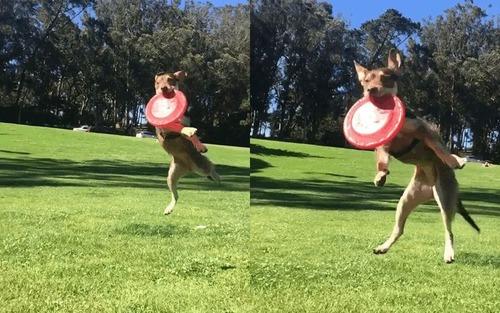 犬のフリスビーキャッチ02