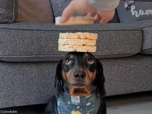 頭の上に8枚のお餅を乗せる犬00