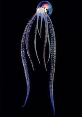 透明な海洋生物-タコ