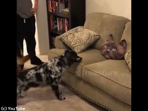 猫クッションを怖がる犬かわいい00