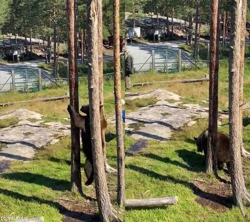 クマの木登り能力03