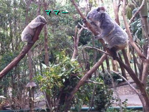 赤ちゃんコアラを助ける母コアラ