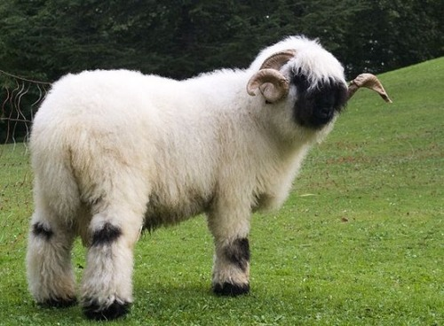 世界一かわいい羊06