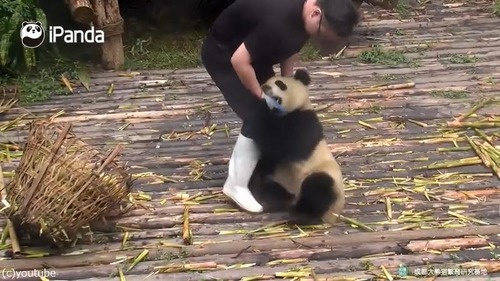かまってほしくて仕方がないパンダ05