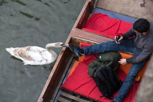 ケンブリッジの暴れん坊な白鳥09