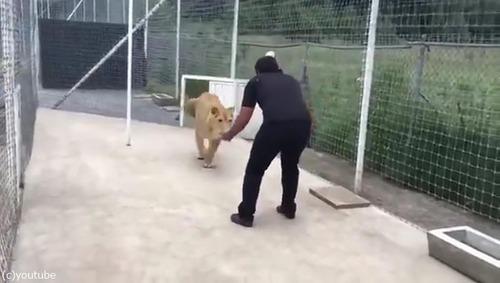 飼育員さんに再会したライオンの反応01
