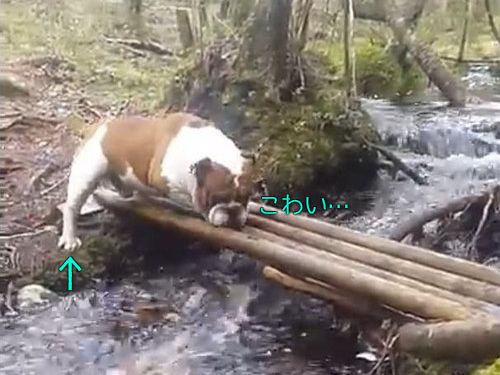 「ブルドッグ、がんばって橋を渡る」00