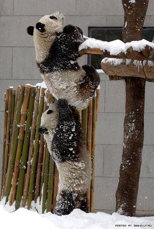 パンダのチームワーク