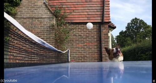 犬が卓球の審判をすると03