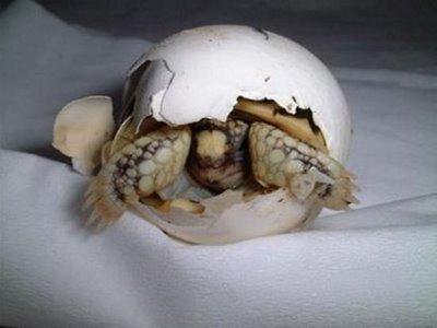 卵からひょっこり顔を出すワニと海ガメの赤ちゃん07