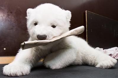 白クマの子供がかわいすぎる10