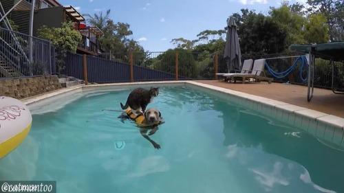 犬の背中に乗ってプール遊びをする猫03