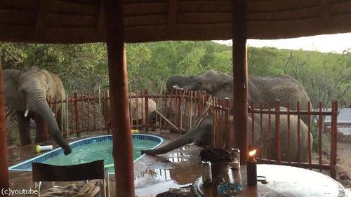 プールの水を飲む野生動物01