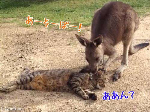 猫と遊びたいカンガルー00