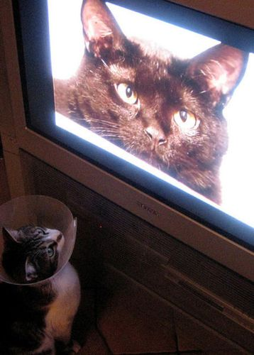 猫の番組を見つめる猫03
