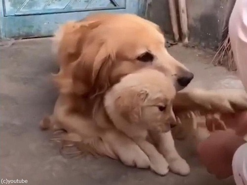 娘を溺愛するパパ犬03