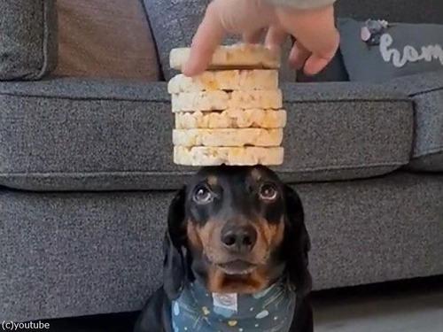 頭の上に8枚のお餅を乗せる犬04