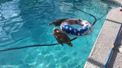 プールを泳ぐアライグマ02