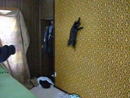 壁を自在に登る猫01