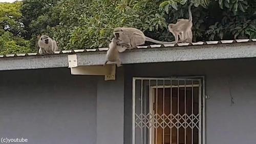 ケガした猿が家族の元へ04