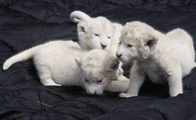 ホワイト・ライオンの赤ちゃんたち06