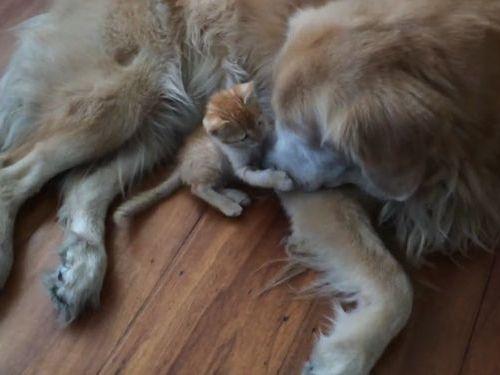 大きな犬と子猫01