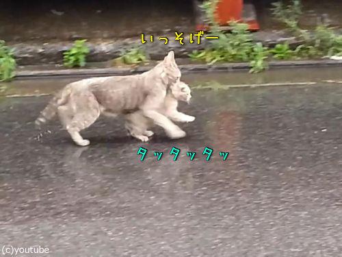 雨の日に子猫をくわえて走る母猫00