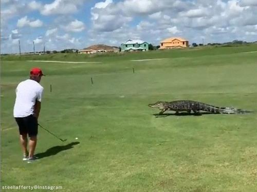 ワニの目の前でゴルフを続行する01