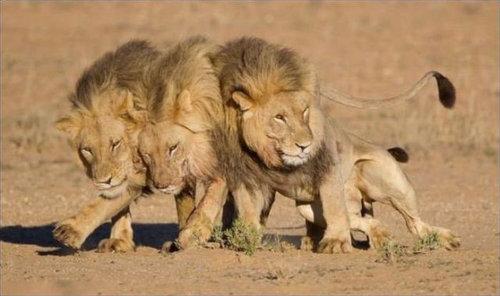 酔いつぶれたライオン01
