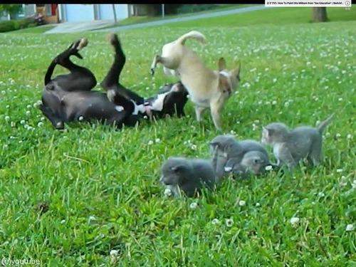 勇敢なチワワが子猫を守る03