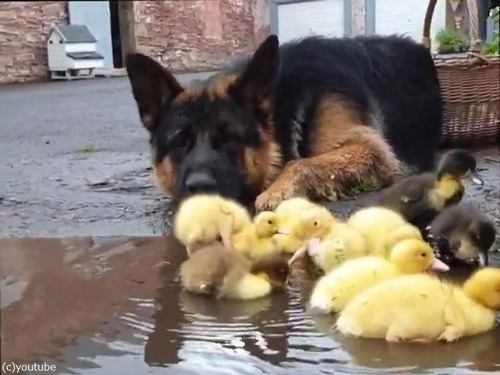 ヒナ鳥を見守る犬02