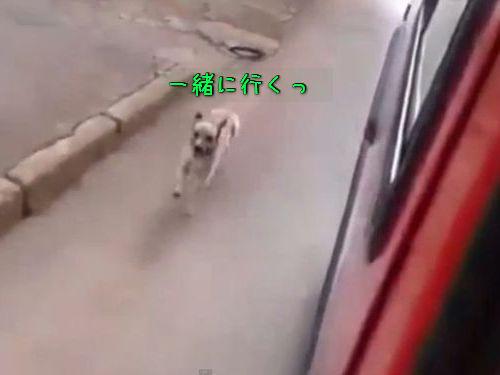 救急車を追いかける犬00