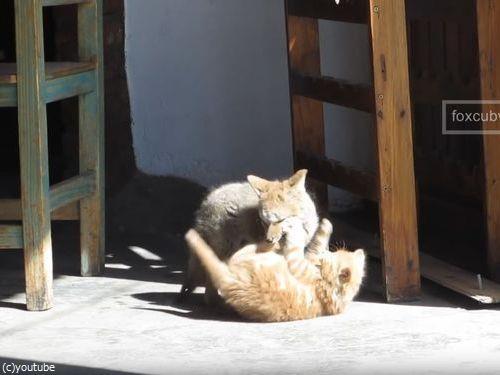 子ギツネと子猫05
