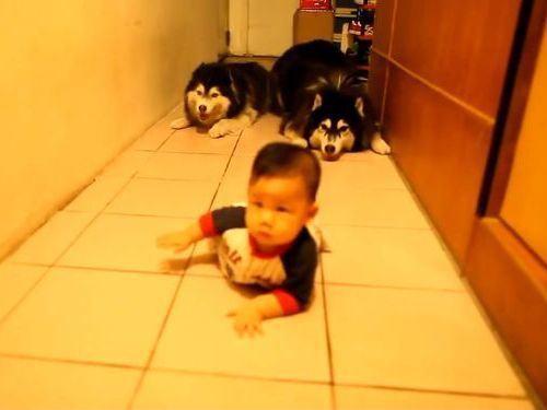 ハスキーと赤ちゃんのハイハイ01
