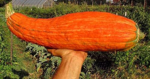 800年前のかぼちゃの種05