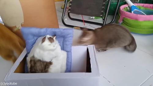 猫のおもちゃにびっくりする猫たち03