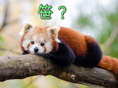 笹を食べるレッサーパンダ00