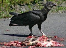 6.クロコンドル(Black Vulture)