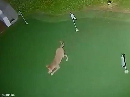 コヨーテが裏庭でゴルフ02