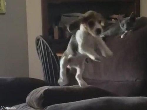 隣のソファーに飛び移ろうとする犬03