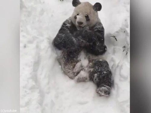 スミソニアン動物園のパンダ06