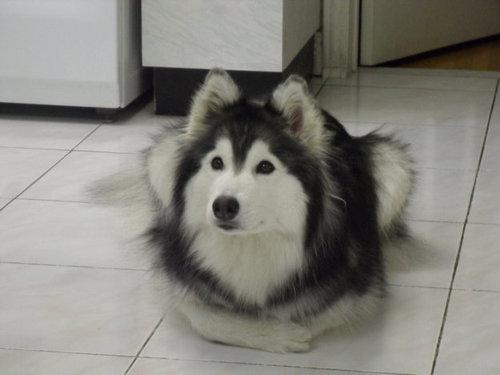 猫みたいなハスキー犬05