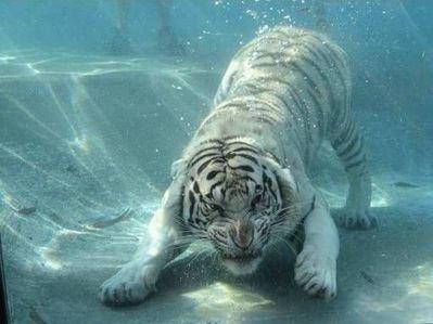 泳ぐ虎12